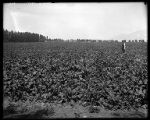 Field of sugar beets(?);