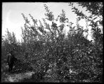 Man picking peaches in a mature peach orchard;