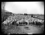 Flock of sheep near Willard, Utah;