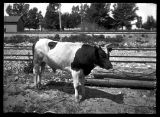 One of two pure-bred Holstein bulls (1 of 2);