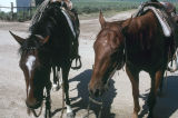 Milt Oman's and Barney McWilliams's horses after cattle are moved in Moulton, Idaho...