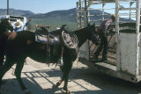 Milt Oman and Barney McWilliams loading horses in truck after cattle are moved in Moulton, Idaho...