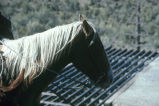 Close up of Doug Tanner's horse during 1988 fall roundup, Grouse Creek, Utah (GCCS_CTC040_12)