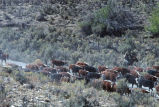 Moving cattle at the Grouse Creek, Utah, 1988 fall roundup (GCCS_CTC040_19)