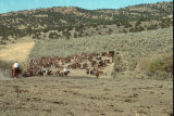 Moving cattle at the Grouse Creek, Utah, 1988 fall roundup (GCCS_CTC040_20)