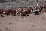 Cutting cows at the Grouse Cree, Utah, 1988 fall roundup (GCCS_CTC041_3)