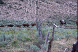Tanners' calves crossing a fence into leased ground (GCCS_CHC007_9)