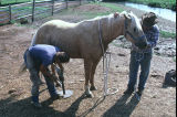 Les ? From Malta, Idaho and Mr. Nelson shoe a horse at the Nelson Ranch (GCCS_CHC012_6)