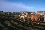 Allen Tanner's mare and foal at the Warburton ranch (GCCS_CHC013_17)