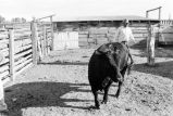 Friend of Lewis Tanner helps him load an Angus bull to move it  (GCCS_BCF231196_13_2)