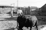 Friend of Lewis Tanner helps him load an Angus bull to move it  (GCCS_BCF231196_13_3)