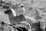 "Doug Tanner and Max Tanner """"working cattle"""" (sorting) at sorting lot after..."