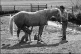 Horse being shoed at Nelson Ranch, Junction Valley, Utah (GCCS_BHC25552_8)