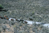 Doug and Max Turner's cattle herd arrive at the destination field (GCCS_CCF025_6)