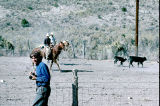 Jay Tanner moves cattle at the sorting lot (GCCS_CCF026_6)