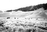 Cattle in Logan Canyon, Utah;