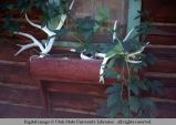Antlers as window box ornament, Wagon Wheel Cafe, Clayton, Idaho, 1967