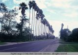 Live fence of palm trees, Texas, 1968