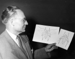 Dr. George F. Knowlton holding up two drawings of pea aphids, 1950s