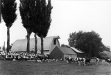 Cow exhibition outside of barn, 1920s