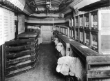 Sheep in pens on a lecture train from the ACU campus, 1904