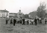 Dairy cow show on campus, 1930s