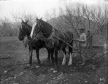 Using horse power to pull a tree out of the ground, circa 1910