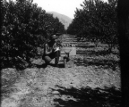 Man weighing a box of peaches in orchard, circa 1910