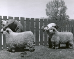 Two men inspecting sheep, 1930s