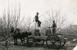 Workmen spraying fruit trees, circa 1908