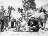 Measuring milk from milking competition, 1920s