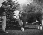 Man showing a Hereford bull