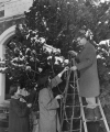 Three people decorate a large tree outside of the L.D.S. Institute, 1950s