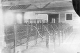 Stalls in the cattle barn on campus, 1902