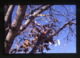 Ribbons tied to a tree in a cemetery, Salt Lake City, Utah, 2000