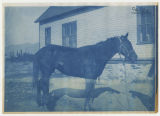 A horse with an abscess/disease(?) on right hind leg. Veterinary Hospital in background. Duplicate...